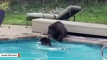 Watch: Bears Have Pool Party Before Winter Arrives