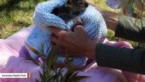 Adorable Koala Joey Goes Viral