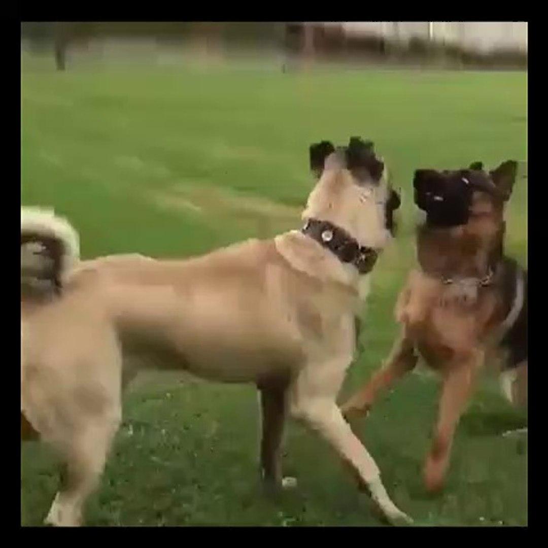 ALMAN COBAN KÖPEGi ve SiVAS KANGAL KOPEGi SABAH ANTREMANI - GERMAN SHEPHERD DOG and SiVAS KANGAL DOG