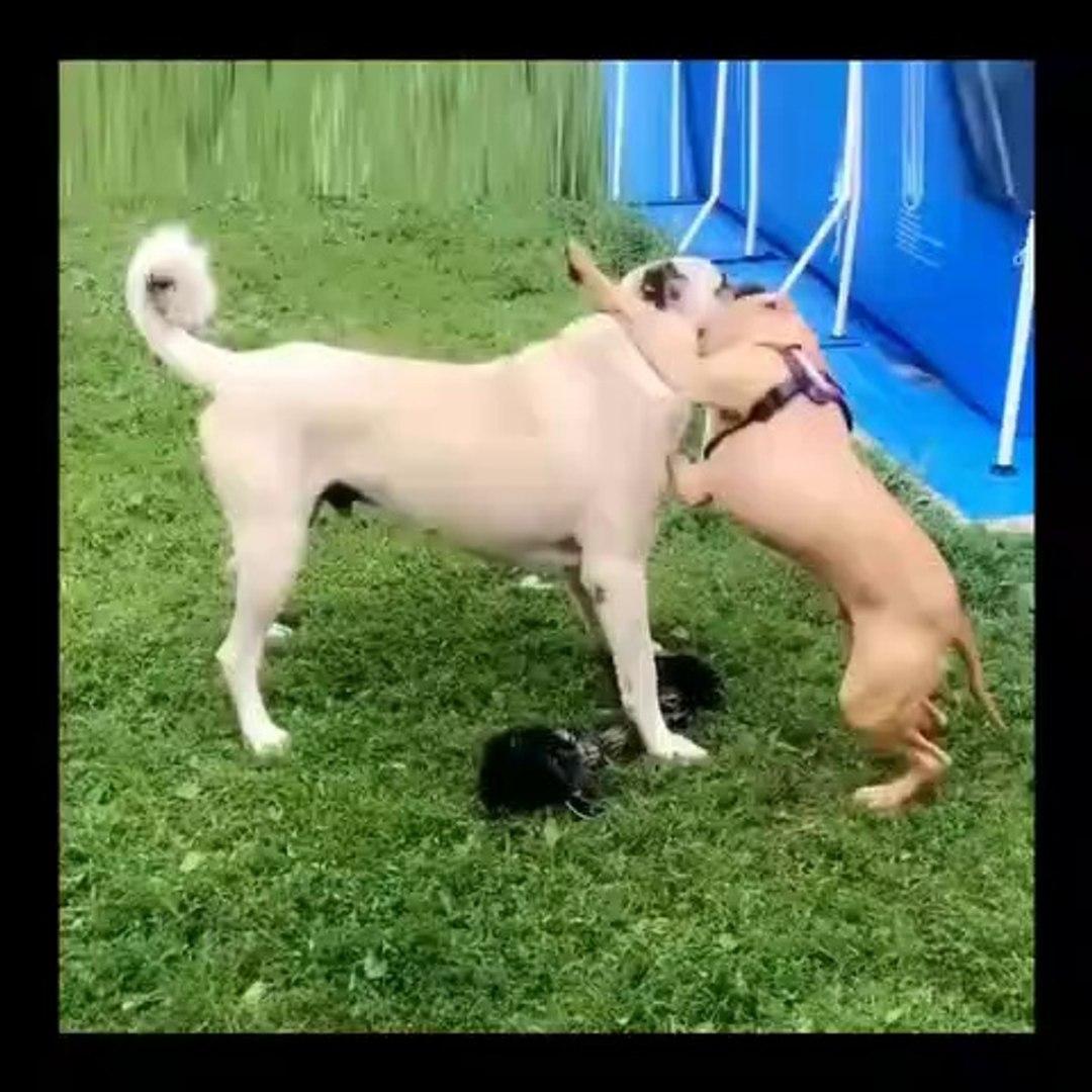 PiTBuLL KOPEGi ve COBAN KOPEGi SABAH EGZERSiZLERi - PiTBULL DOG and SHEPHERD DOG MORNiNG EXERCiSE