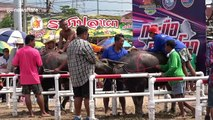 Thai locals compete in terrifying buffalo races