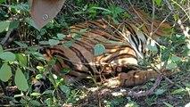 Man-eating tiger in Karnataka forest tracked, captured
