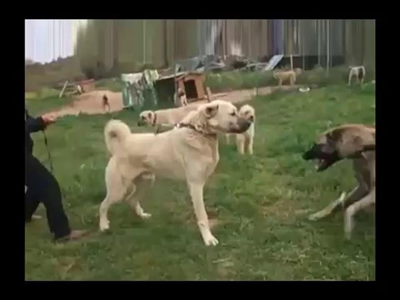 KANGALLARIN KARSILASMASI ve ATISMASI - SiVAS KANGAL DOG VS