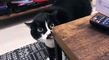 Este gato con alma de jilguero triunfa entonando desgarrados cánticos georgianos