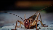 Swarms of Crickets Are Invading Texas