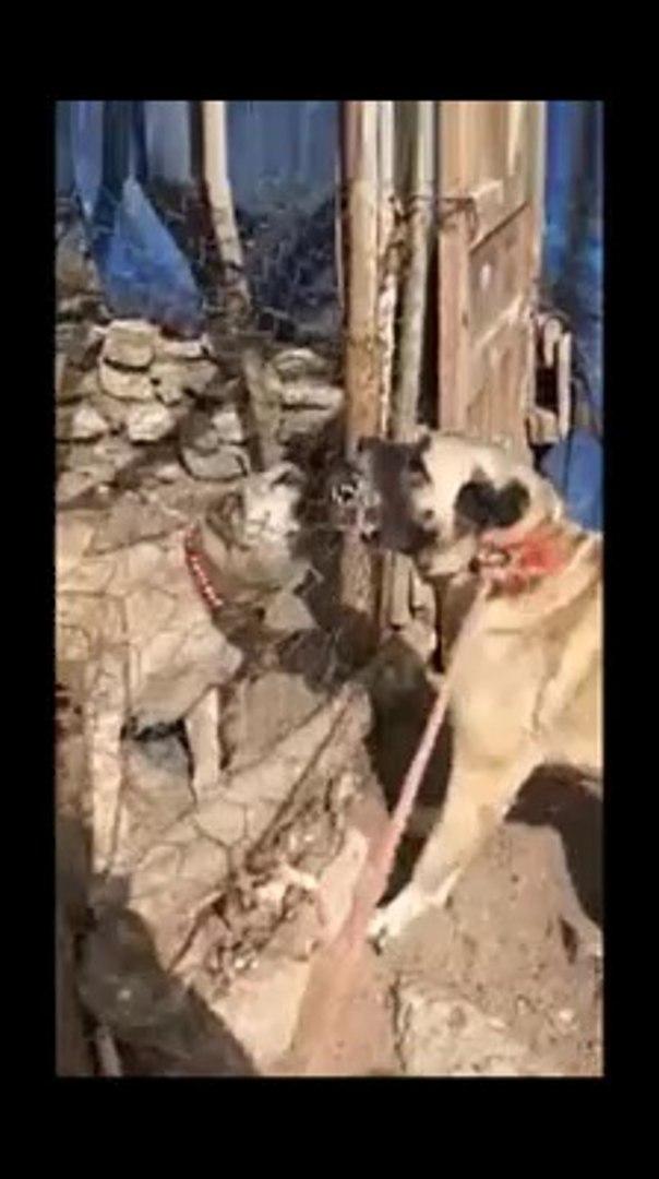 SAFKAN KANGALLARDAN SERT ATISMALAR - PURE BRED KANGAL DOGS VS