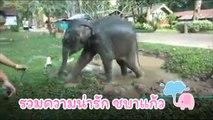 รวมความน่ารัก ชบาแก้ว ช้างน้อยแสนซน