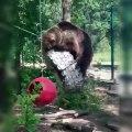 Tous les ours sont maladroits et aiment jouer; cet extrait en est la preuve