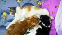 Kitties breastfeeding from mother cat
