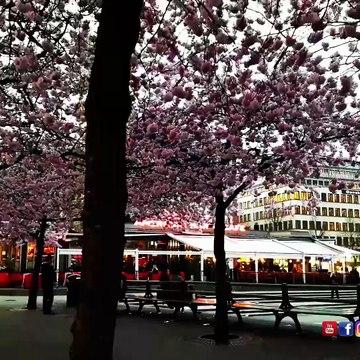 #Cherry #Blossoms #Stockholm #Sweden