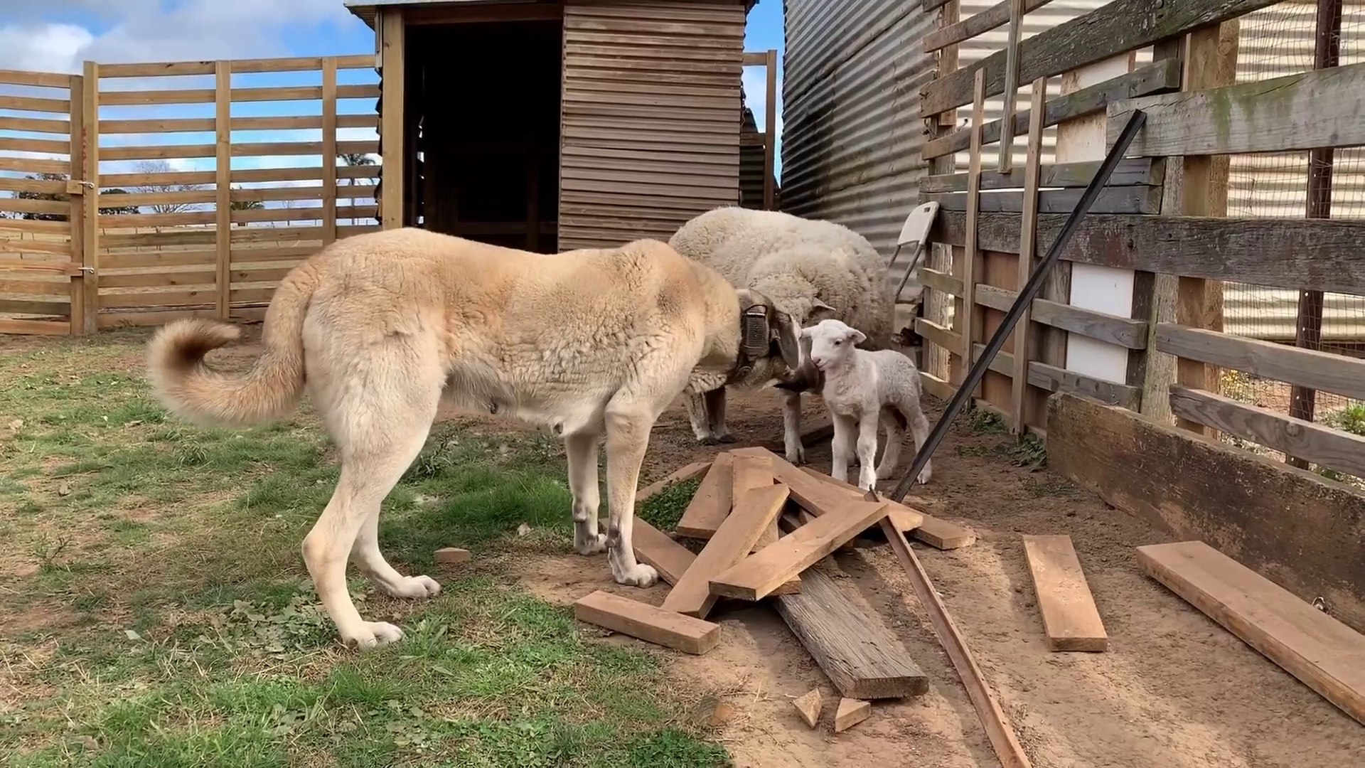 SiVAS KANGAL KOPEGi KOYUN ve KUZU NOBETi - KANGAL DOG SHEEP and LAMB  WATCH