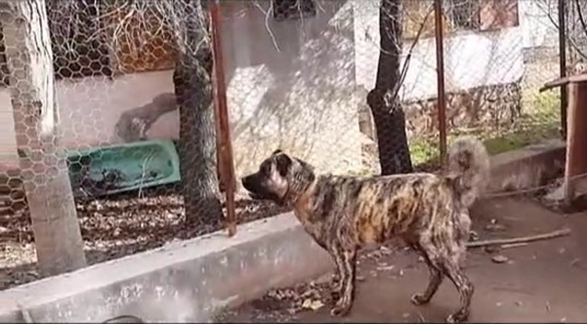 ADAMCI SiMiT KUYRUK CAPAR COBAN KOPEGi - ANATOLiAN SHEPHERD CAPAR DOG