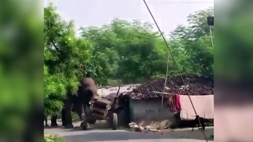 Elefante destruye todo lo que tiene por delante