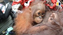 'Skinny and dehydrated' orangutans relocated after Indonesia forest fire