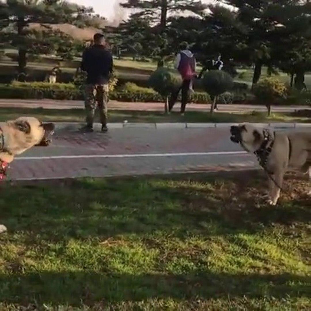 KOPEK FESTiVALiNDE COBAN KOPEKLERiNDEN GUZEL BiR ATISMA - ANATOLiAN SHEPHERD DOG vs
