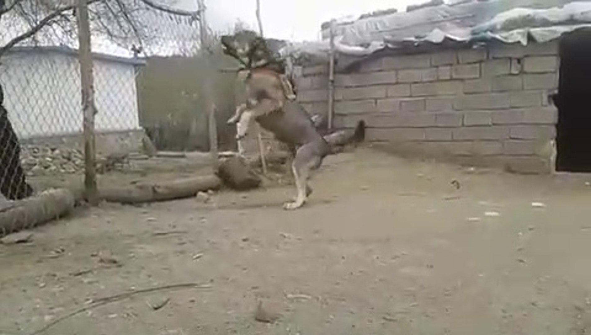 COBAN KOPEGiNi DELiRTiRCESiNE KIZDIRMAK - ANGRY SHEPHERD DOG