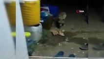 Arıcı ile tilki 'Viki' arasındaki dostluk ile görenleri şaşırtıyor
