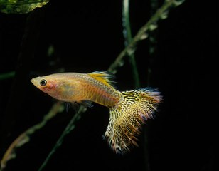 Ist mein weiblicher ovoviviparer Fisch schwanger?