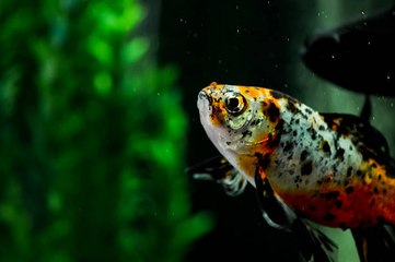Ist mein weiblicher oviparer Fisch schwanger?
