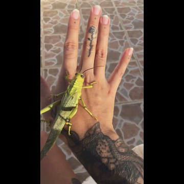 Huge grasshopper perches on woman's hand In Mexico