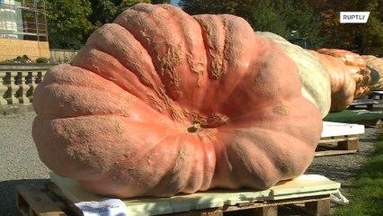 شاهدوا: أكبر نبتة يقطين في العالم !!!