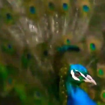 whatsapp status nature video - Beautiful peacock