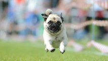 Pug Races Are Super Popular in Germany—and We're Just Finding Out