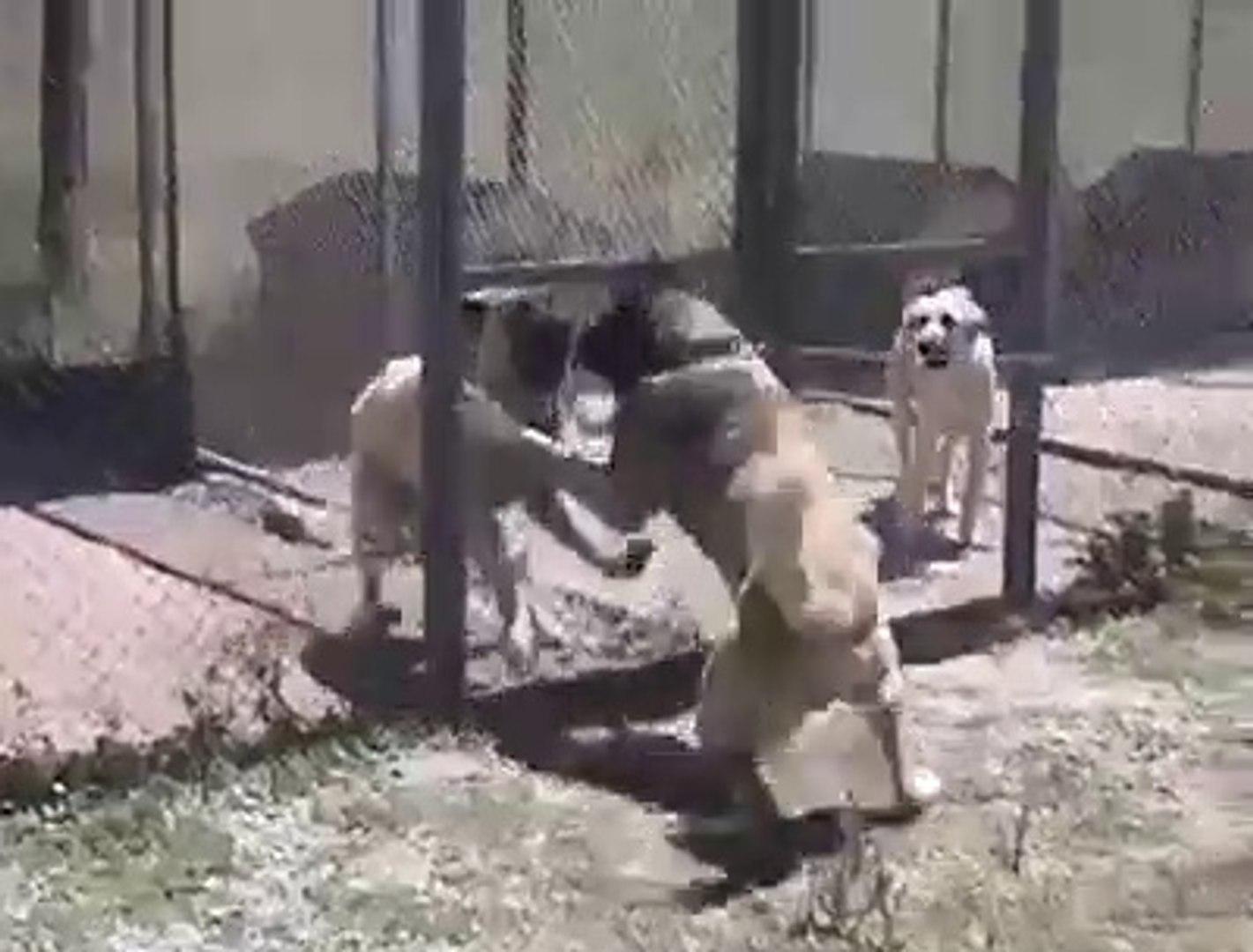 SiVAS KANGAL KOPEKLERi YAKIN ATISMA - SiVAS KANGAL DOG NEAR VS