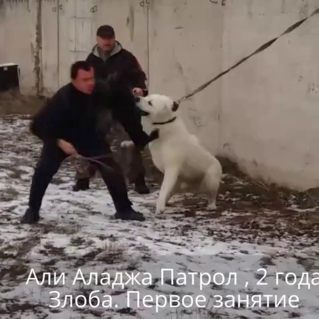 ALABAY COBAN KOPEGi ADAMCI NASIL YAPILIR - ANGRY ALABAI SHEPHERD DOG