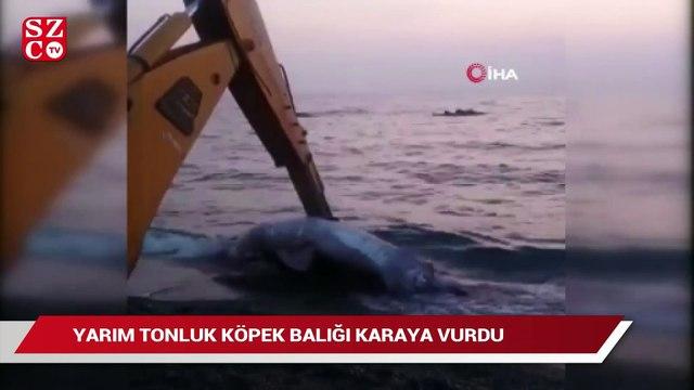 Yarım tonluk köpekbalığı karaya vurdu