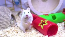 Hamster Playground - WaxLand  Cute Syrian Hamster   Funny Hamster