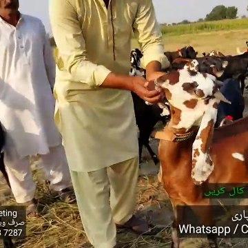 MERA APNA DIL AA GAYA - Amratsari Beetal Aur Shera Bacho Per - Bakra Mandi Pakistan