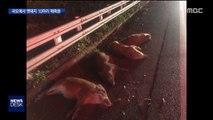 한밤중 국도에 나타난 멧돼지들…차량 충돌에 떼죽음