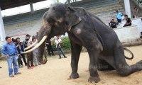 ¡Terrible!: Esta elefanta esquelética es obligada a realizar números circenses en un zoo de Tailandia