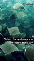 Fotógrafa captó impresionantes imágenes de un cardumen de peces mobula