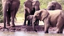 Amazing Elephant Rescue Crocodile From Hippo   Elephants rescue Elephants from Animal Attack