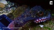 Un poulpe veut voler la caméra d'un plongeur