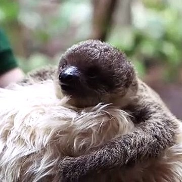 Sloths Risk Their Lives Every Time They Poop