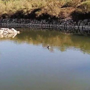 Mallard swimming in a small lake