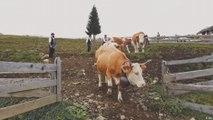 تقليد إنزال الماشية من مراعي جبال الألب