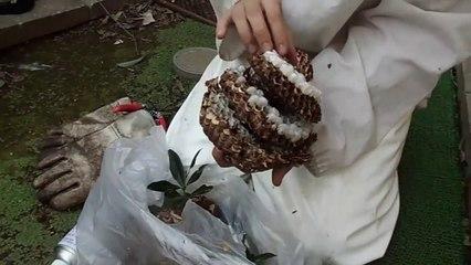 Il nous montre ce qu'il y a à l'intérieur d'un nid de frelons asiatiques