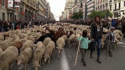 شاهد: قطعان من الغنم تحتل شوارع مدريد الأكثر شهرة