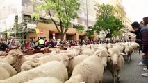 Thousands of sheep march through streets of Madrid for Transhumance festival