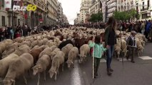 Sheep Seen Taking Over Streets Of Madrid In Annual Herding Festival!