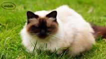 Gato Himalayo - Razas de Gatos