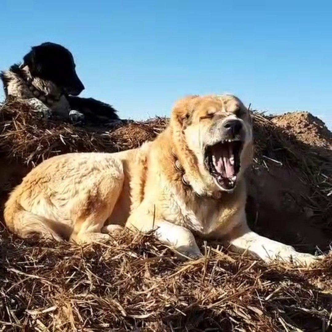 KOCA KAFALI iRAN COBAN KOPEGi - BiG HEAD PERSiAN SHEPHERD DOG