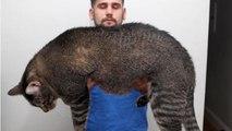 Cinder, ecco il gatto obeso costretto ad andare in palestra  i suoi allenamenti conquistano il web