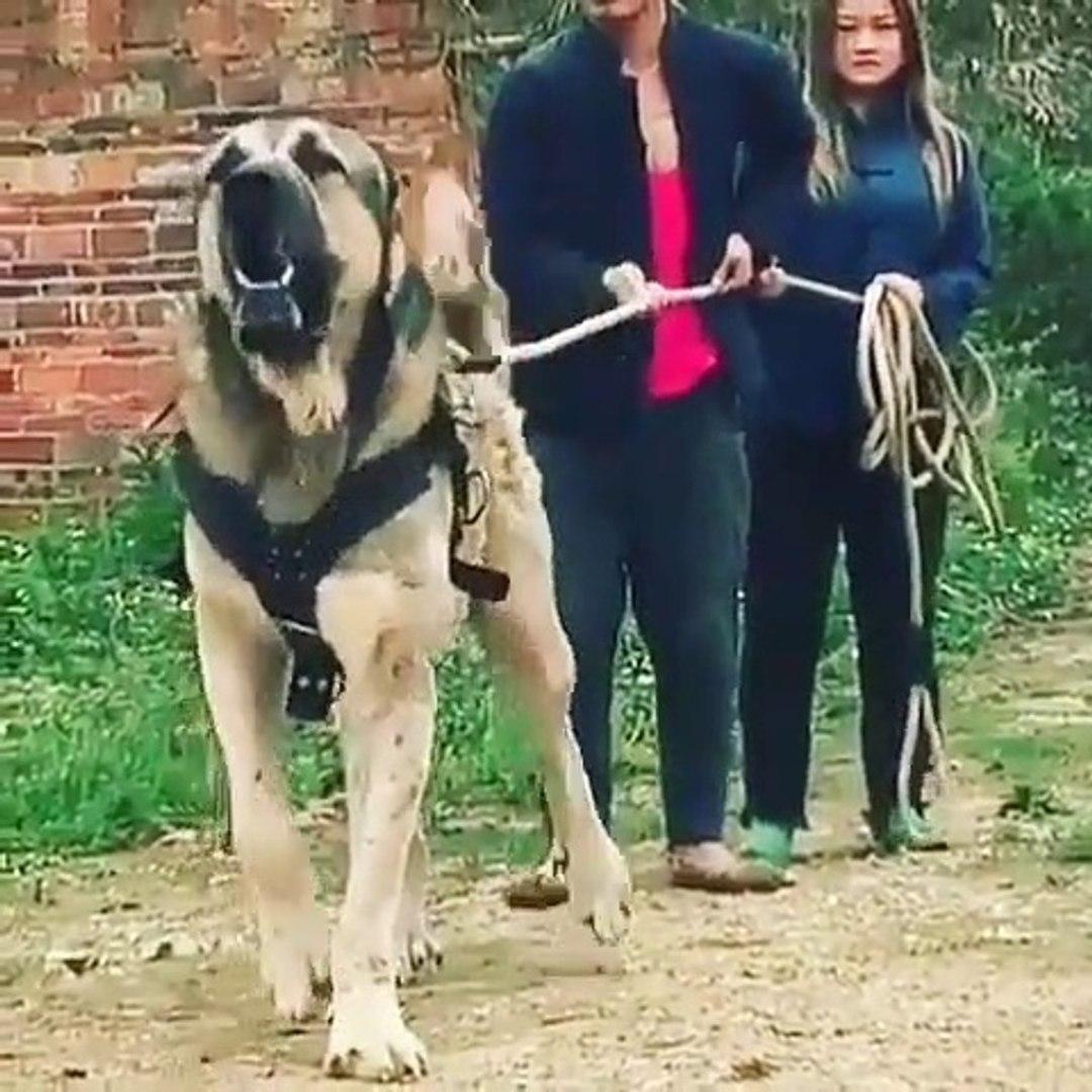 ADAMCI ve SiNiRLi ASYA COBAN KOPEGi - ANGRY ASiA SHEPHERD DOG