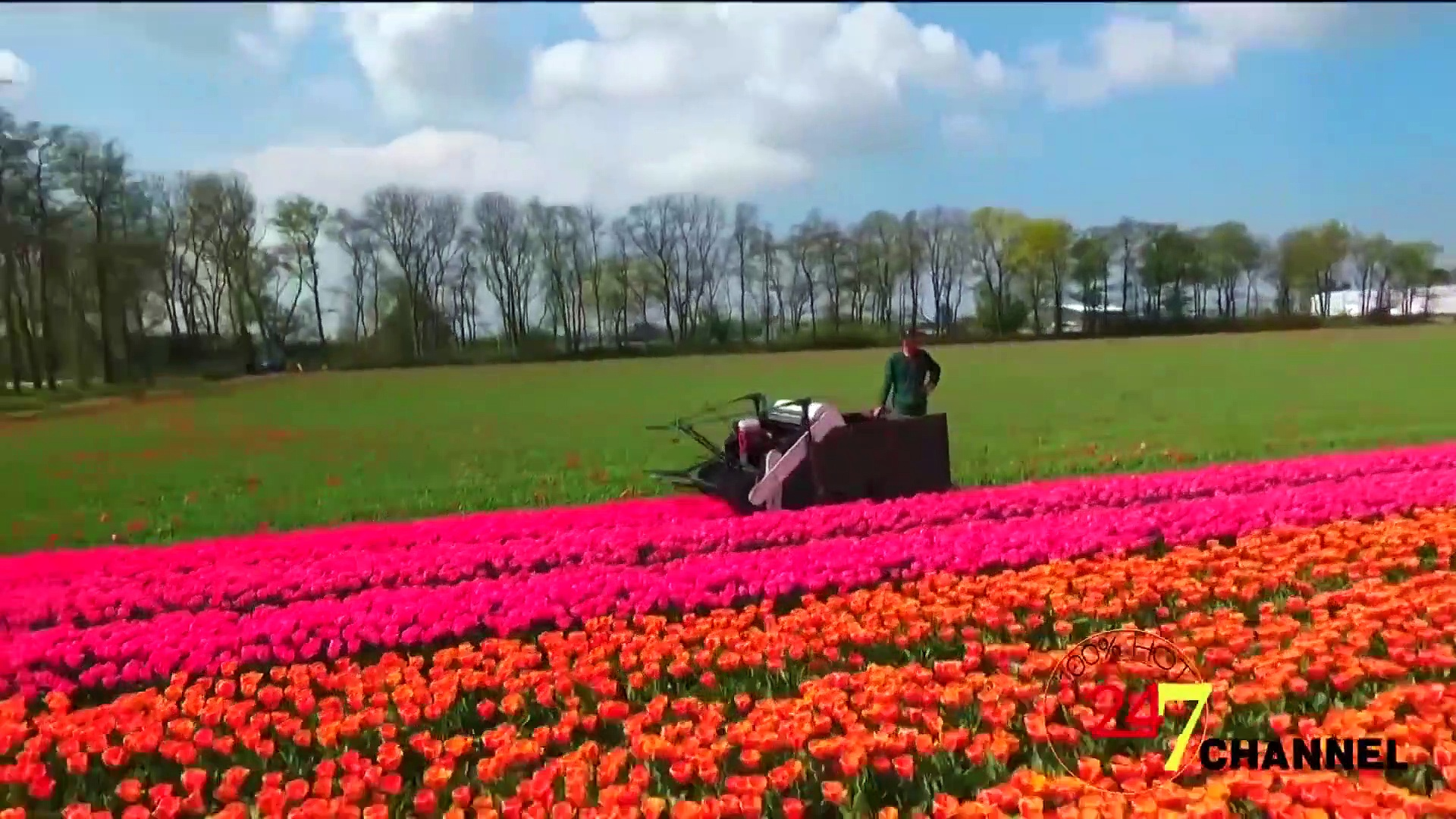 How Tulips Are Harvested on Farms