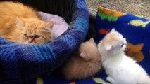 El Gato Persa - Razas de Gatos